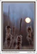 Cattail_Moonrise