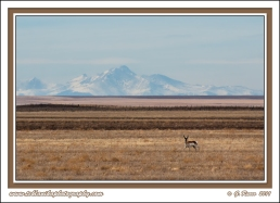 Colorado_Pronghorn