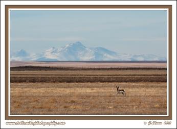 Colorado_Pronghorn