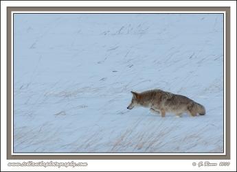 Coyote_February