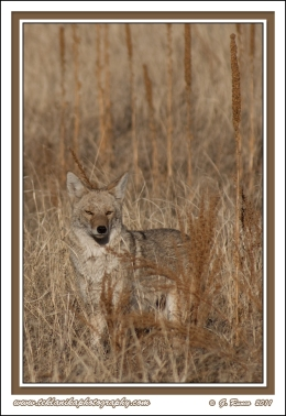 Coyote_Winter