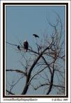 Eagle_And_Ravens
