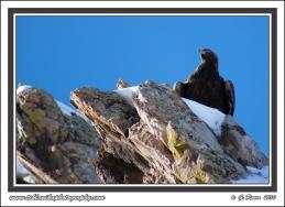 Eagle_On_Rocks