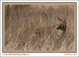 February_Coyote