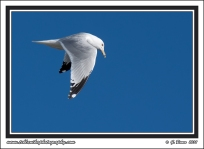 Fishing_California_Gull