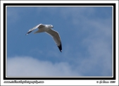Fishing_Gull