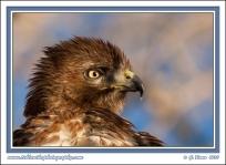 Hawk_Portrait