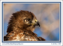 Hawk_Portrait