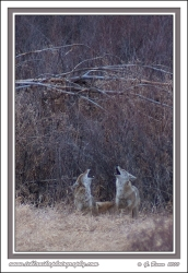 Howling_Together
