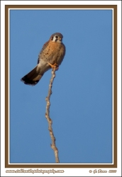Kestrel_On_A_Limb