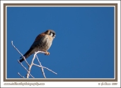 Kestrel_Perched