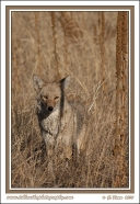 Little_Coyote
