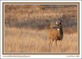 Muley_Buck_At_Sunset