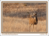 Muley_Buck_At_Sunset