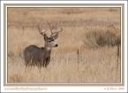 Muley_Buck_In_Grass