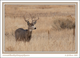 Muley_Buck_In_Grass