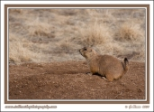 Prairie_Dog_On_Mound