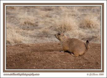 Prairie_Dog_On_Mound