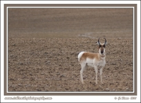 Pronghorn_In_Field