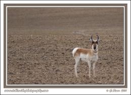 Pronghorn_In_Field