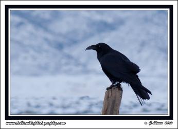 Raven_Post