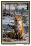 Red_Fox_In_Snow