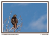 Red_Tail_In_Tree