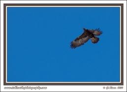 Rising_Eagle
