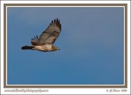 Soaring_Hawk