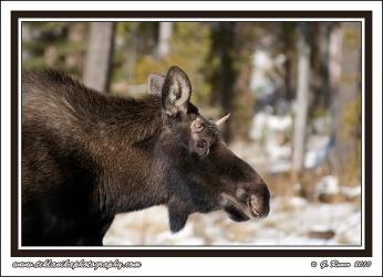 Spike_Moose
