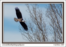 Swooping_Bald_Eagle
