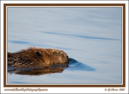 Beaver_In_The_Lake