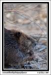 Beaver_Lunch