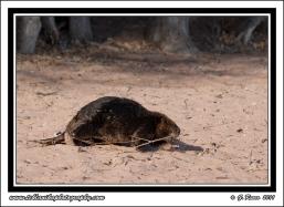 Beaver_On_Beach