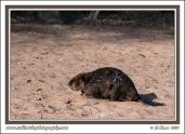Beaver_On_Land