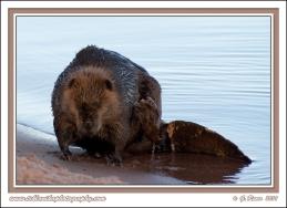Beaver_Scratch