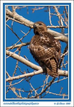 Branch_Hawk