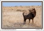 Cow_Elk