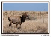 Cow_Elk_In_Grass