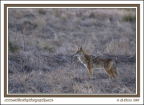 Coyote_In_March