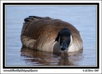 Drinking_Goose