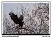 Eagle_Wings