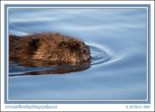 Floating_Beaver