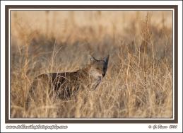 Grassy_Coyote