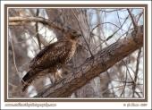 Hawk_On_A_Branch