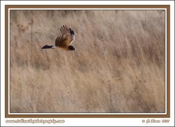 Hovering_Harrier