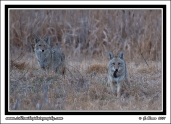 Hunting_Coyotes