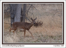March_Whitetail