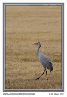 Marching_Crane