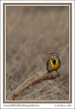 Meadowlark_Perched